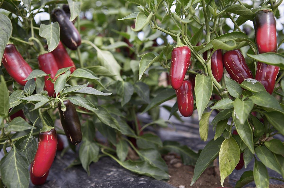 piantagione di peperoncini, food storytelling